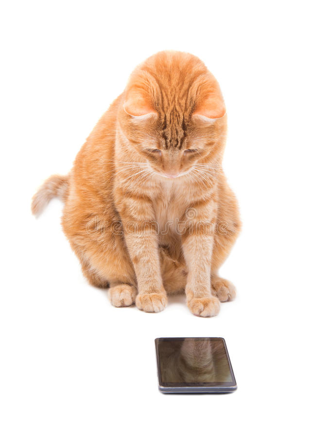 Large ginger tabby cat staring at a smart phone. With interest, on white stock images