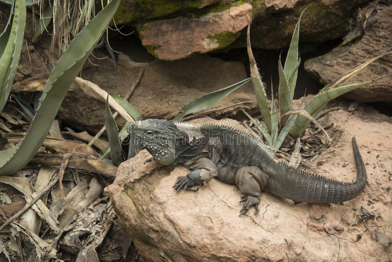 Large Grand Cayman iguana sunning on a rock stock images