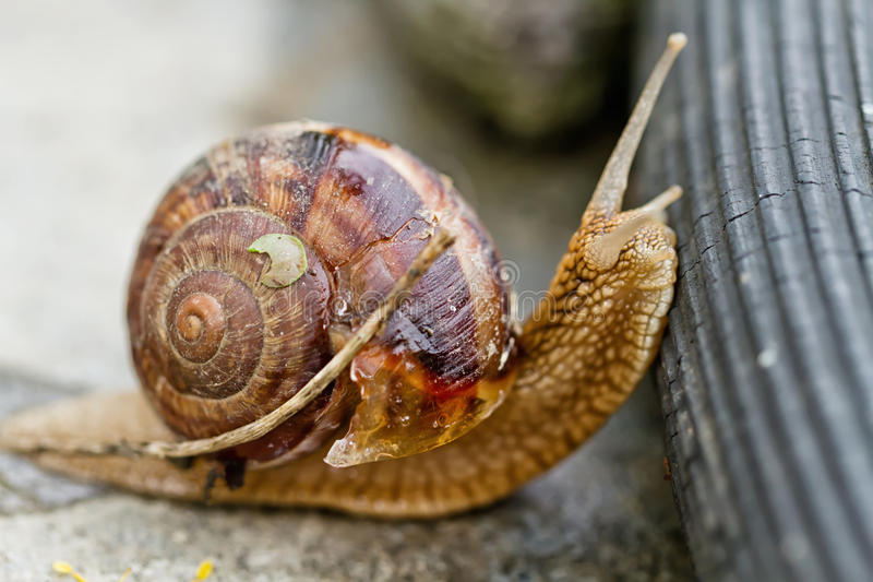 Large grape snail overcomes obstacles stock image