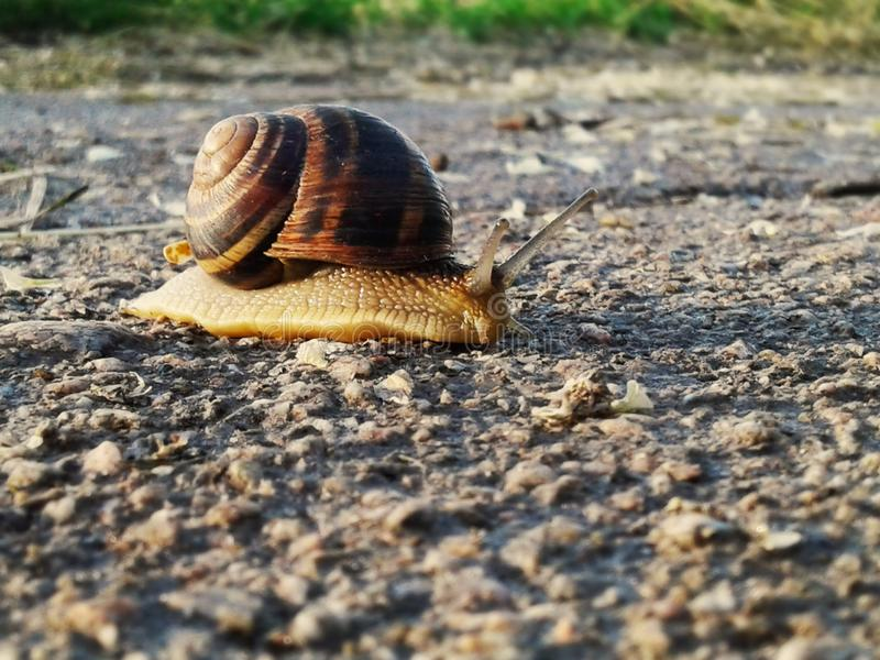 Large grape snail. Snail on the way to the goal. royalty free stock photo