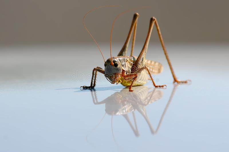 A large grasshopper is reflected. In a metal surface stock photography