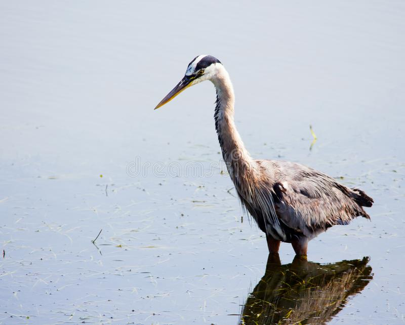 Large gray bird wading in water searching for food. Great Blue Herron. Ardea herodias. royalty free stock photos