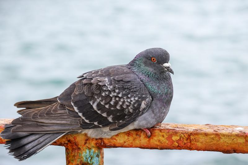 Large gray dove sitting on a rusty metal fence on the background of the water surface. stock photo