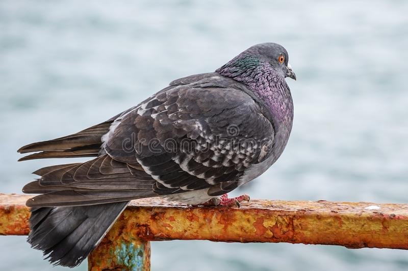 Large gray dove sitting on a rusty metal fence on the background of the water surface. royalty free stock photography