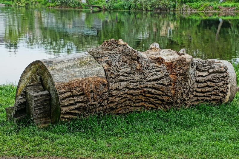 A large gray dry poplar log lies in the green grass on the shore of a lake stock images