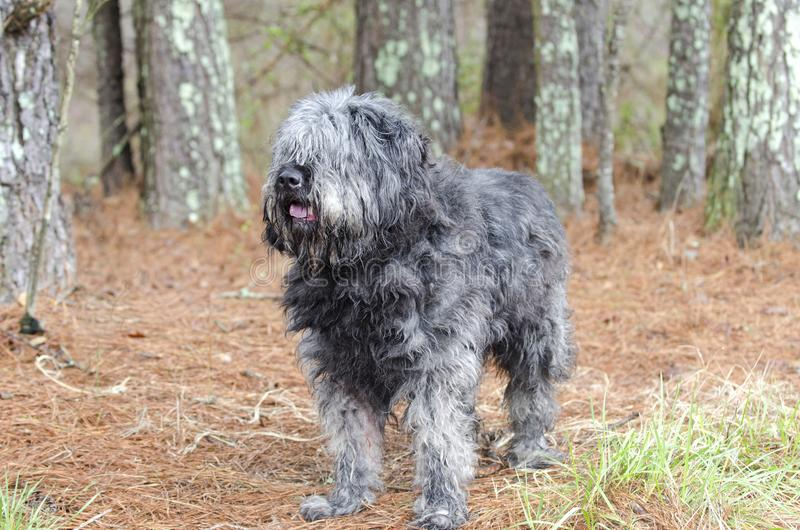 Large gray fluffy scruffy Old English Sheepdog Newfie type dog needs groom. Large gray fluffy dog with lots of hair. Matted fur needs grooming. Hair covering royalty free stock photos
