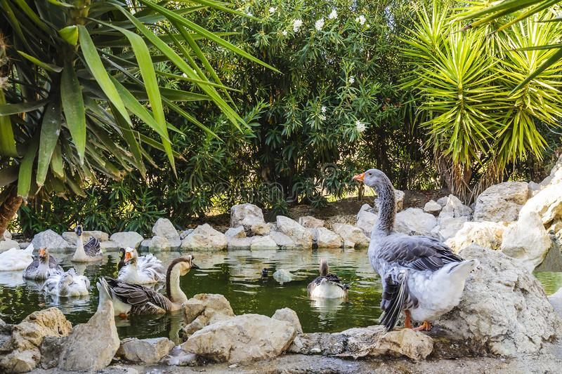 A large gray goose and his flock in a small pond at sunset on a summer day. royalty free stock image