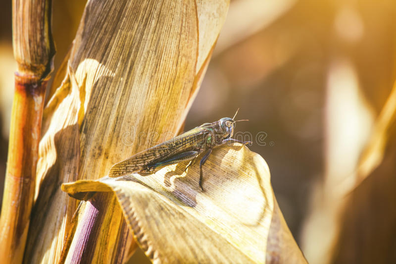Large, gray green specimen locust sits on a dry piece of corn in the field. stock photo