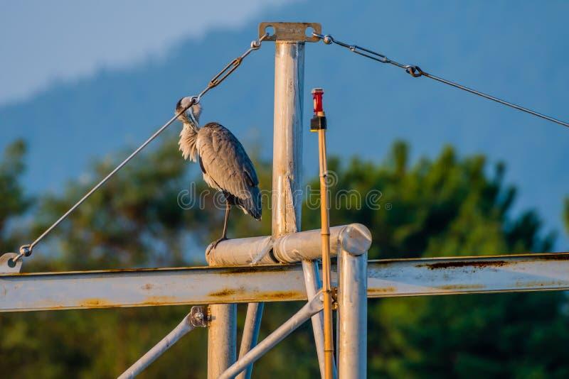 Large gray heron preening perched on metal cross beam stock image