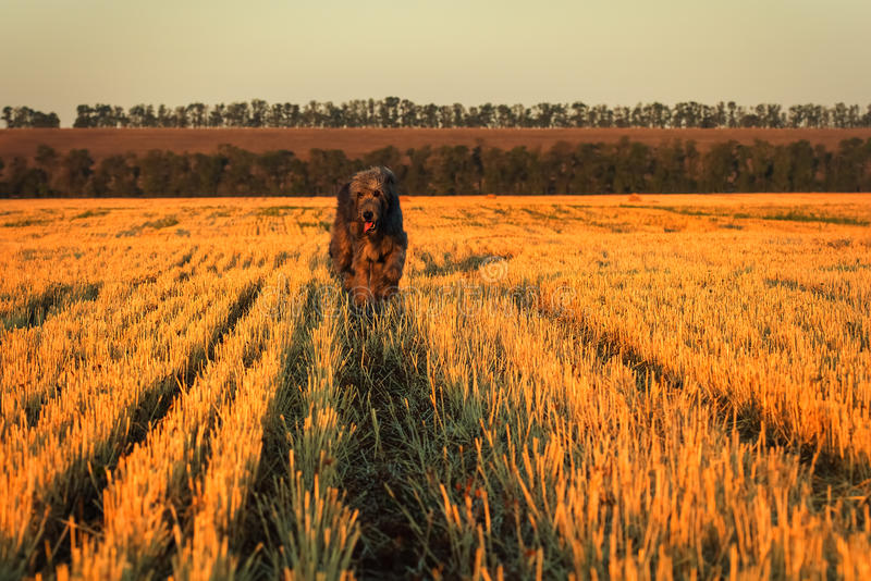 Large gray Irish wolfhound runs along the stubble. Selective focus outdoors image. Happy dod running royalty free stock image