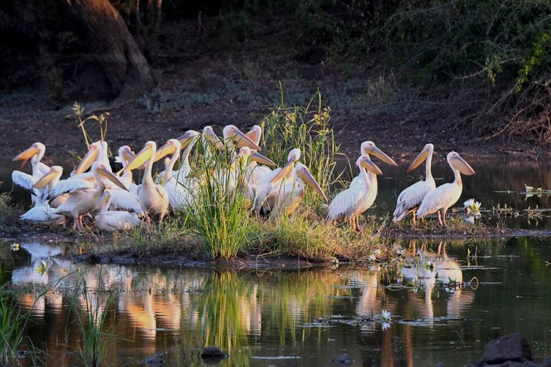 Great white pelican. A large of great white pelican is resting in a pond in Kruger National park in South Aprica. They are big bird with a unique long beak with royalty free stock image