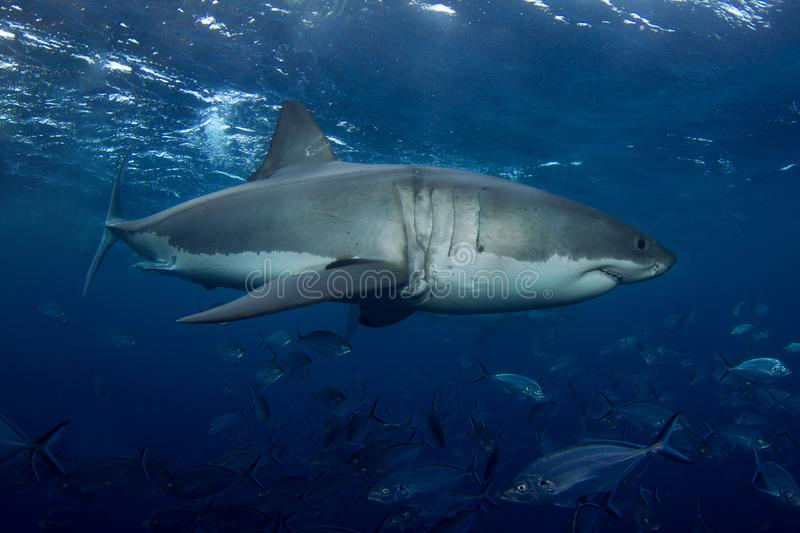 A large Great White Shark swimming near the surface royalty free stock images