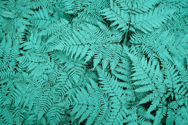 Large green bush fern in the forest. Background from the neon leaves of plants. Large green bush fern in the forest. Background from the leaves of plants of a stock photography