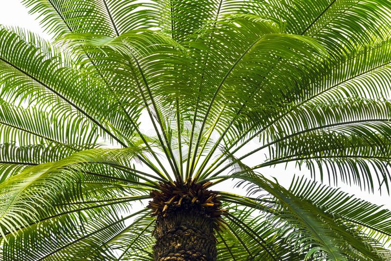 A large green crown of tropical coconut palm trees growing in an exotic resort, view from below. Palm tree with large branches royalty free stock images
