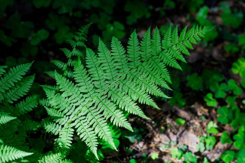 Large green fern leaf in the forest in the grass. Close up. Pteridium aquilinum royalty free stock photography