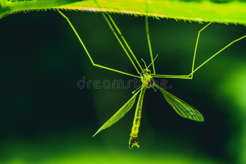 A large green forest mosquito sits on a glowing leaf. Selective focus macro with bokeh background royalty free stock photos