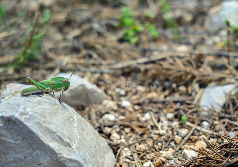 A large green grasshopper sits on a light stone on a sunny day. royalty free stock image