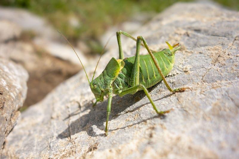 Large green grasshopper Tettigonia viridissima on a grey stone royalty free stock images