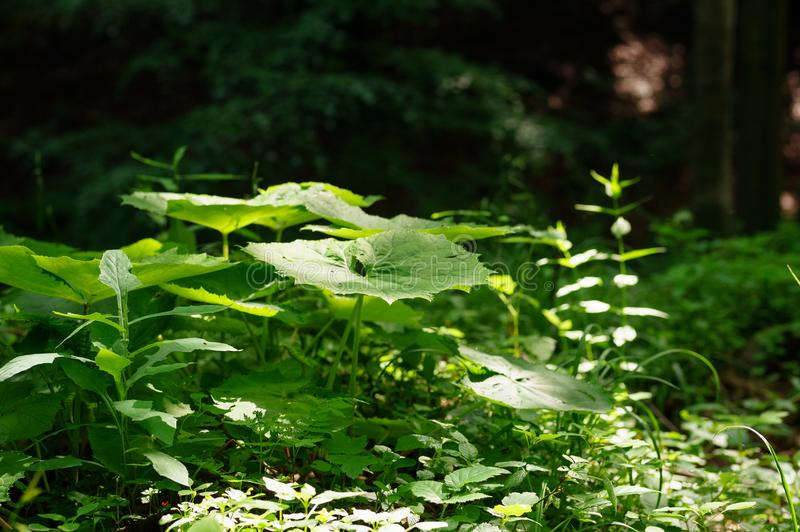 A large green leaf butterbur Petasites officinalis growing in the forest, a ray of light falls on it. stock image