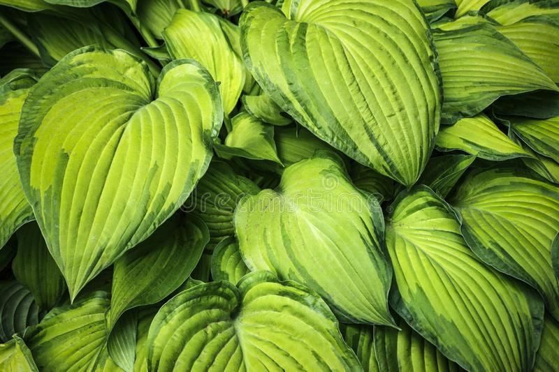 Large green leaves backround. Texture and pattern of plants, leaves, flowers royalty free stock image
