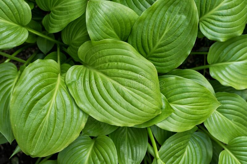 Large green leaves closeup. Garden wildlife. Top view.  stock images