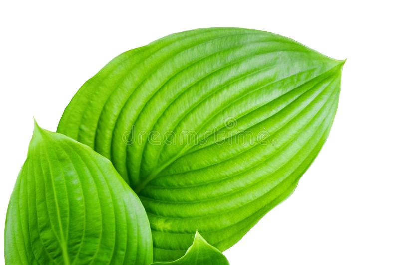 Large green leaves on white isolated background.  royalty free stock images