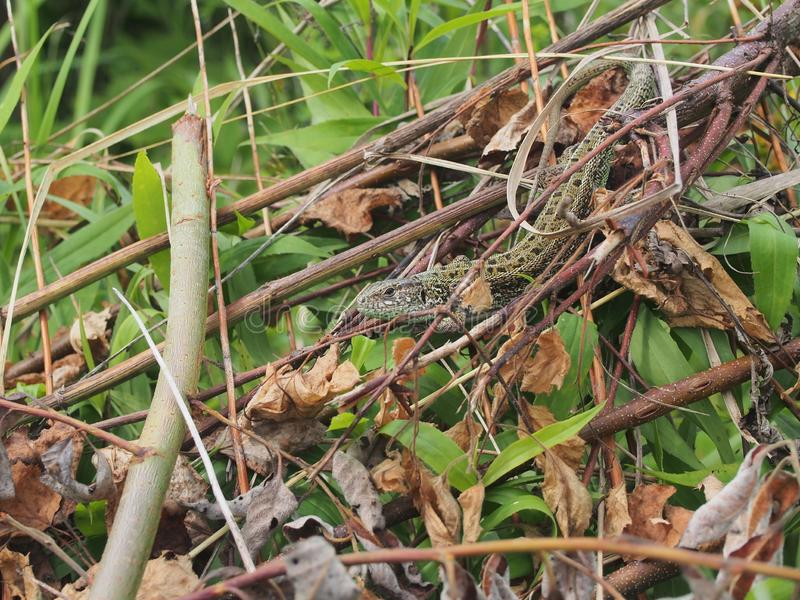 A large green lizard sits on a pile of branches. Wild animal, closeup, macro, wildlife, nature, agilis, reptile, lacerta, gardening, head, bait, slowworm royalty free stock images