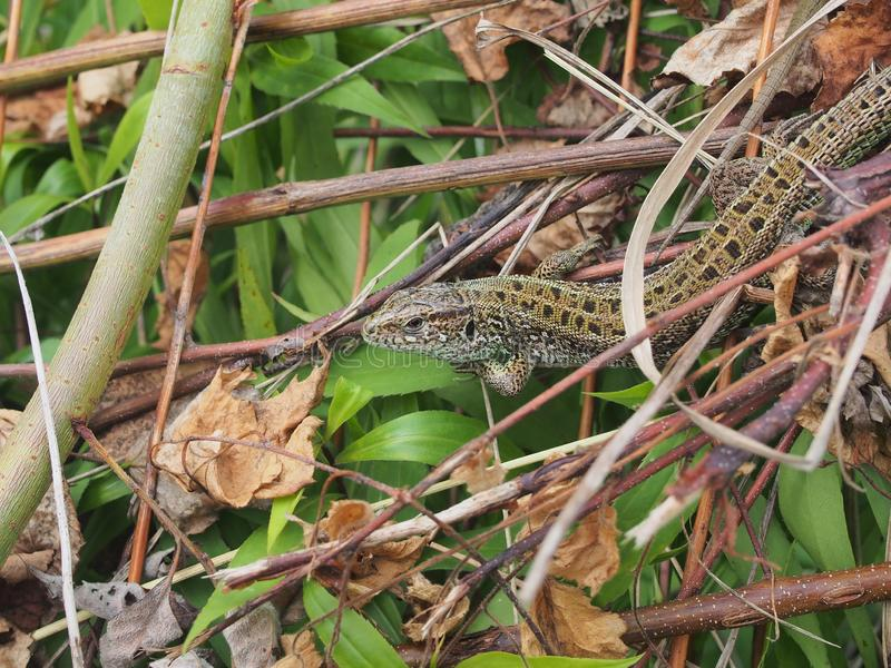 A large green lizard sits on a pile of branches. Wild animal, closeup, macro, wildlife, nature, agilis, reptile, lacerta, gardening, head, bait, slowworm royalty free stock photos
