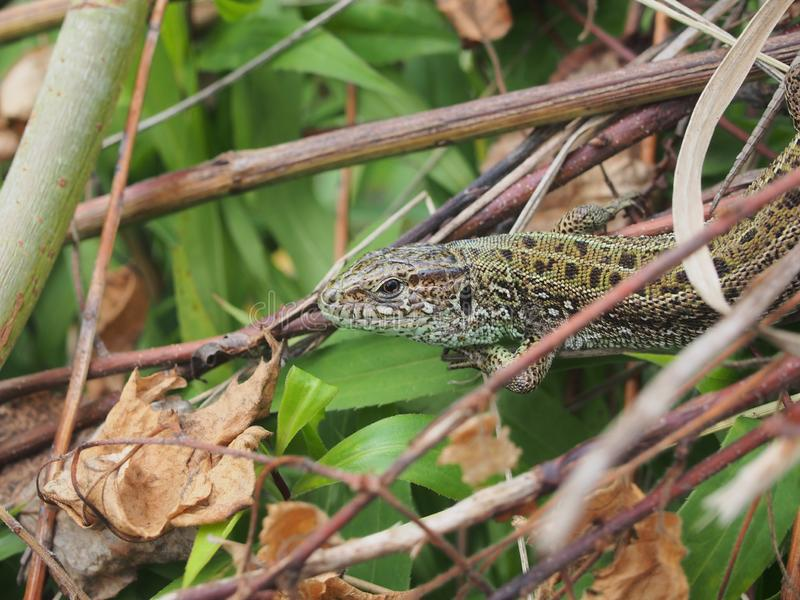 A large green lizard sits on a pile of branches. Wild animal, closeup, macro, wildlife, nature, agilis, reptile, lacerta, gardening, head, bait, slowworm royalty free stock image