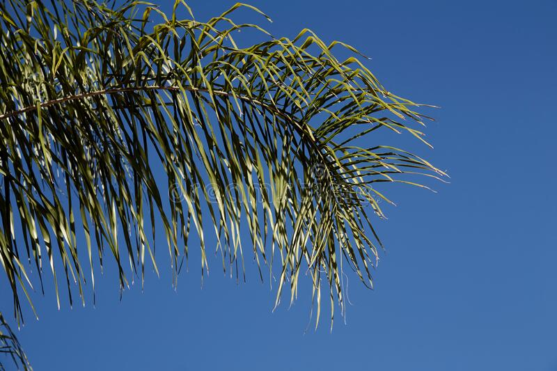 Large green palm branch on the background of bright blue sky. Branch of a tropical plant close-up. Large green palm branch on the background of bright blue sky royalty free stock photography