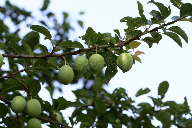 A large green plum matures on the branches royalty free stock photo