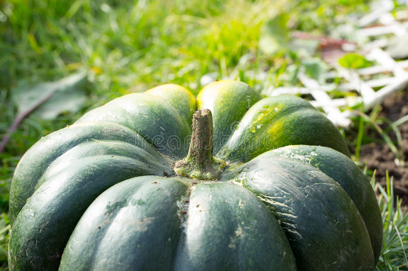 Large green pumpkin. Photo for you stock photo