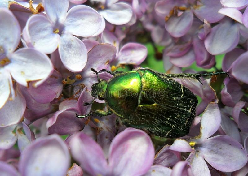 Beetle on lilac flowers. stock photography