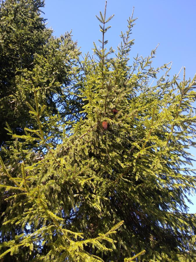 Large green spruce with cones. Against the blue sky in the spring stock photos