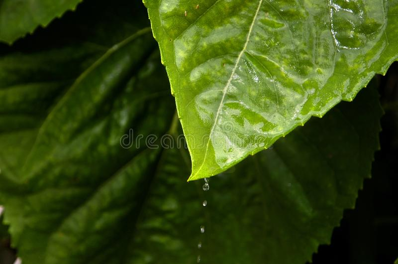 Large Green Sunflower Plant Leaf with Water Droplets stock photography