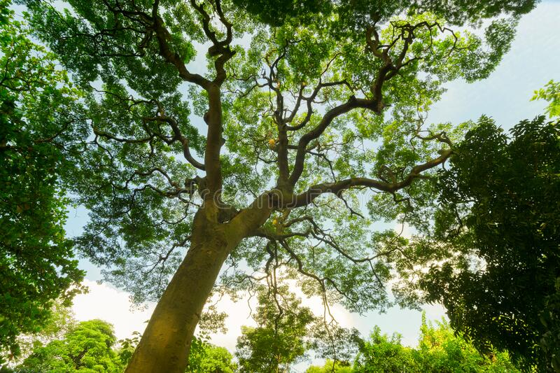 Large green tree shot from below royalty free stock images