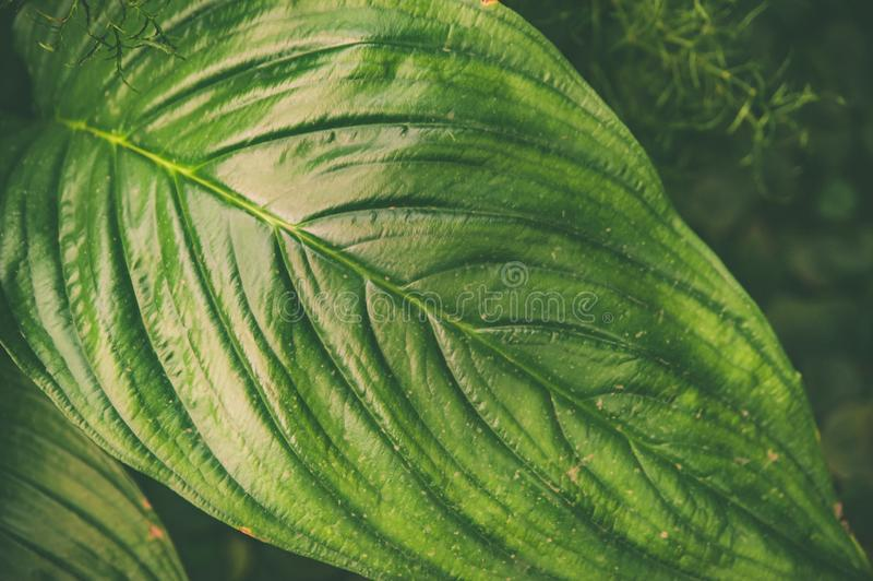 Large green tropical leaves background, texture . Stylish tinted eco-friendly royalty free stock photo