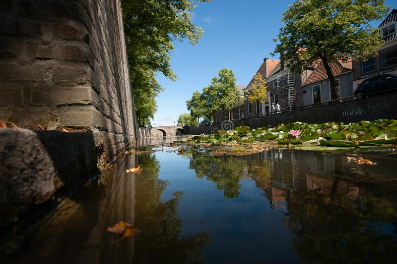 Naturally growing water plants in a Dutch city canal with flowing water and reflecting water surface. Large green water lilies in purple, pink, white colors and stock image