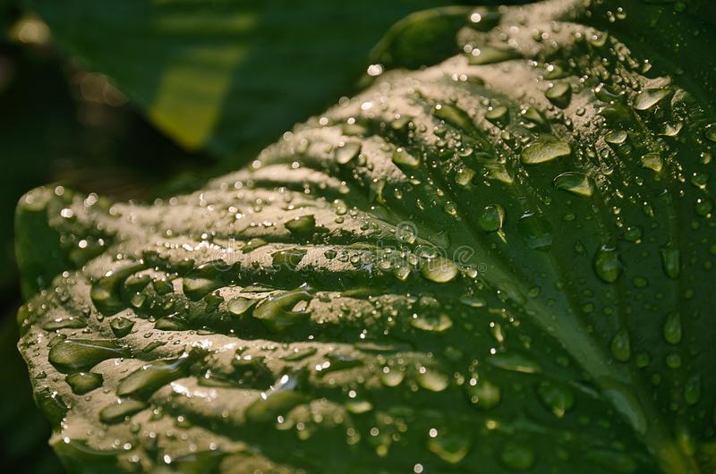 Large green wet leaf with bright raindrops stock images