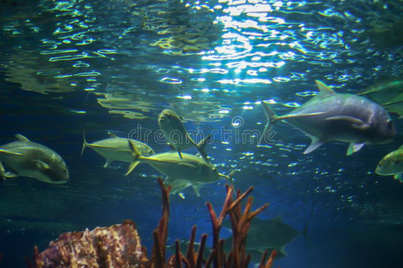 Large grey and green fish underwater, shot from below. Sun rays are refracted in the water and illuminate the water. Underwater. Flora and fauna of the ocean royalty free stock photography