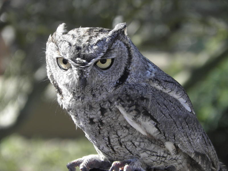 Large Grey Owl royalty free stock photography