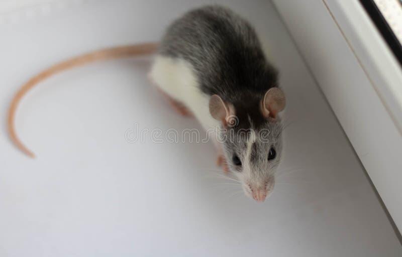 Large grey pet rat  on white background stock images