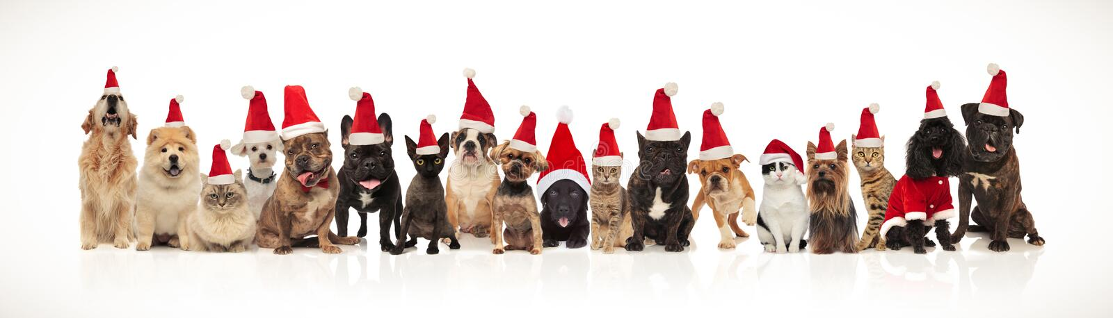 Large group of adorable cats and dogs with santa hats royalty free stock images
