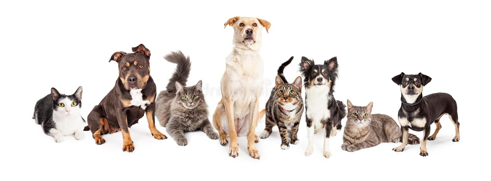 Large Group of Cats and Dogs Together. Group of cats and dogs of different sizes and breeds together. on white royalty free stock images