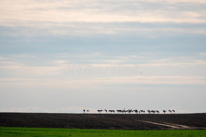 Large group of cranes standing on the horizon on a field stock images