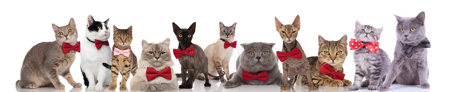 Large group of cute cats wearing colorful bowties stock photo