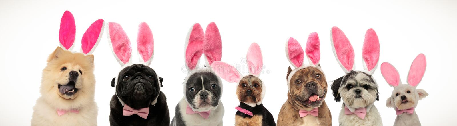 Large group of dogs wearing bunny ears for easter. On white background stock images