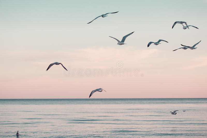 Large group flock of seagulls on sea lake water and flying in sky on summer sunset royalty free stock photography