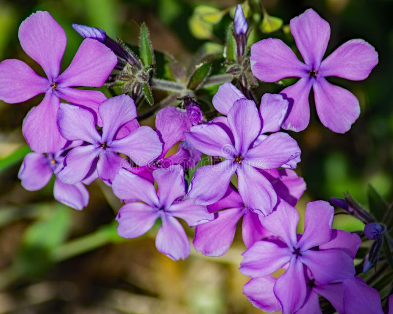Large Group of a Forest Phlox – Phlox divaricate. Wild Blue Phlox, also called Wild Sweet William, grows in rich woods and fields in the Blue Ridge stock images