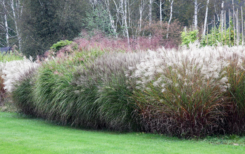 A large group of high-growing ornamental grasses. Ornamental grasses come most to the fore in large groups. Growth need a lot of space and are especially royalty free stock images
